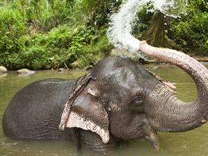 Фото. Слон принимает водные процедуры