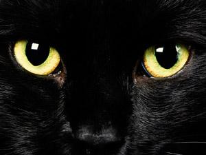Фото. Черная кошка