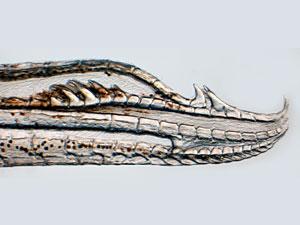 Фото. Крючкообразный член у рыбы