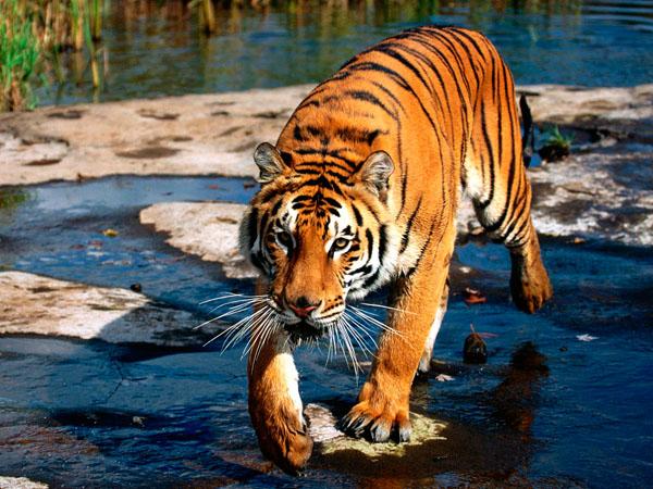 Фото. Бенгальский тигр