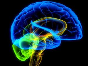 Фото. Человеческий мозг