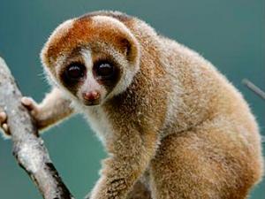 Фото. Ядовитый примат