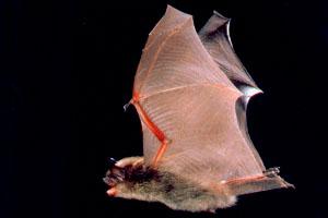 Фото. Мышь Myotis lucifugus