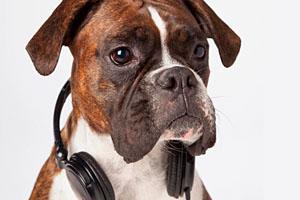 Фото. Собака слушает музыку