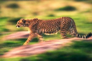 Фото. Гепард быстрый