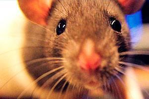 Фото. Мыши косят