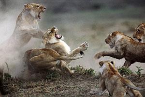 Фото. Драки львов