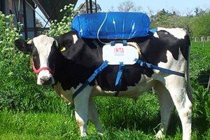 Фото. Сбор газов коров