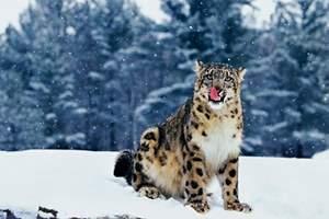 Фото. Снежный леопард