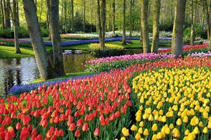 Рынок тюльпанов в Голландии