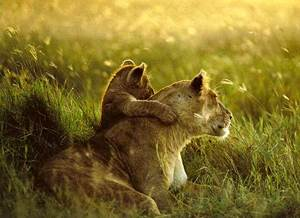 Фото. Львенок со своей матерью