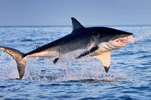 Фото. Белая акула полностью выпрыгнула из воды