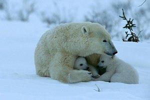 Фото. Два медвежонка и медведица