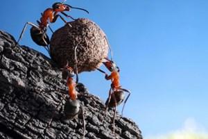 Фото. Три муравья катят шарик