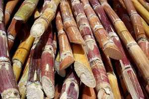 Фото. Порезанный тростник
