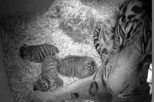Фото. Тигрица со своими тигрятами в зоопарке