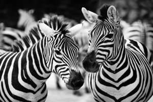 Фото. Две зебры обнюхивают друг друга