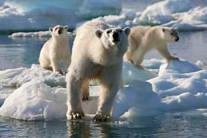 Фото. Три порядных медведя у воды