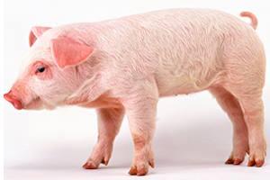 Свинья попала из Китая