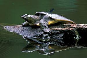 Черепаха которая мочится через рот