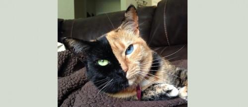 Кошка с мордочкой из двух цветов