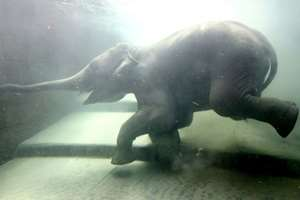 Фото. Слон плывет под водой