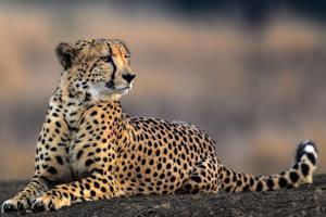 гепард перед охотой
