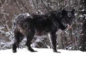 волк-одиночка