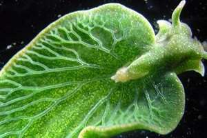 фотосинтез в животном