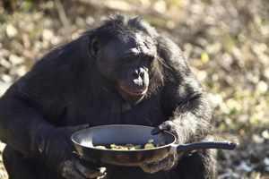 обезьяна может приготовить пищу