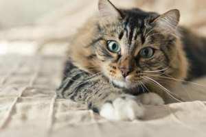 независимый характер кошки