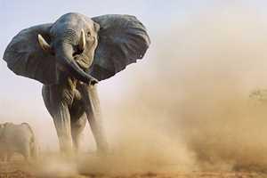 волосы у слона