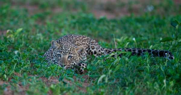 леопард в саване