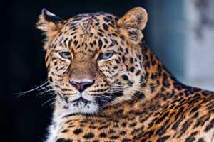 документальный фильм о леопарде