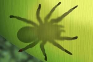 зеленый тарантул