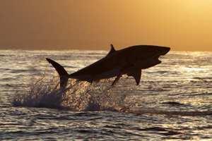 акула выпрыгнула из воды