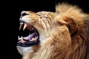 грубый голос у льва