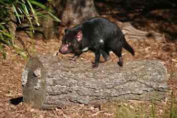 исчезновение тасманийского дьявола