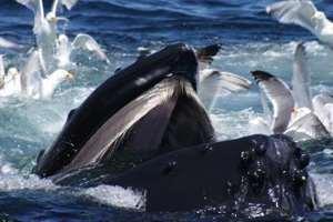 охота горбатых китов