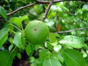 зеленый плод