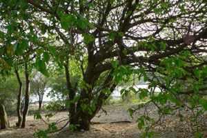Манцинелловое дерево