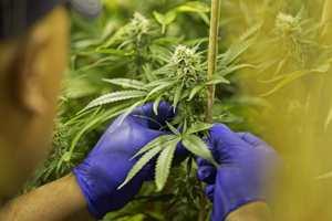 сбор марихуаны