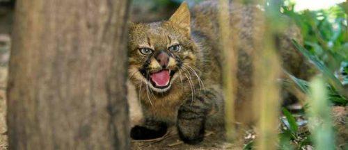 неизученные кошки