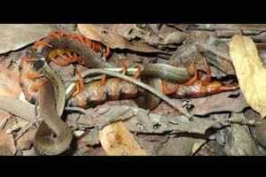 сороконожка напала на змею