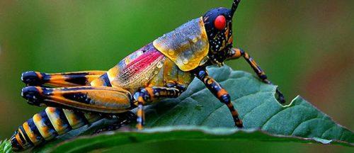 разноцветный кузнечик