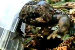у жабы нет лица