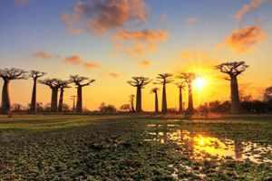 колона баобабов