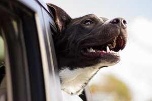 собака выглядывает из окна автомобиля