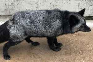 серебряная лисица гуляет