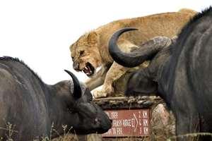 лев в окружении буйволов